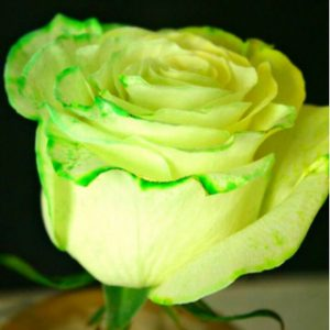 Easy Ways to Dye Roses at Home